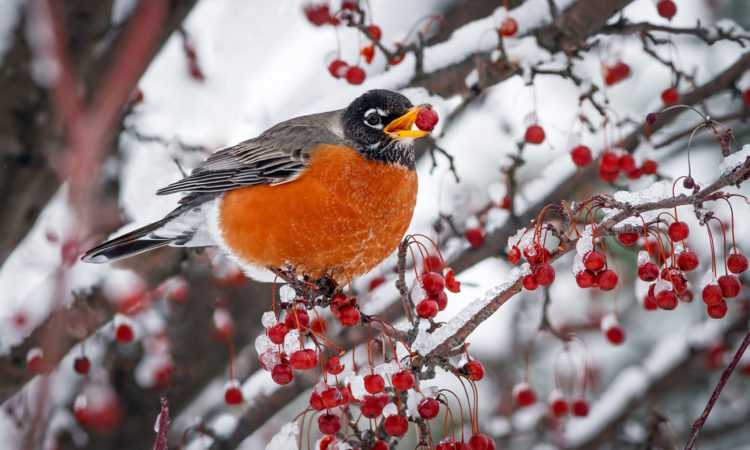 winter-robin