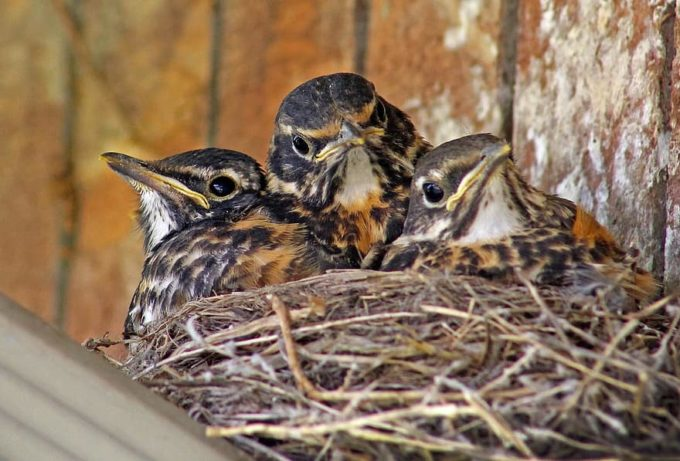 baby-birds-baby-robins-robins-babies-in-nest-young-birds-young-cute-bird-robin