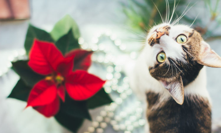Cat with poinsettia
